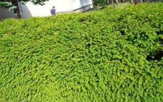 Как сделать живую изгородь из тиса
